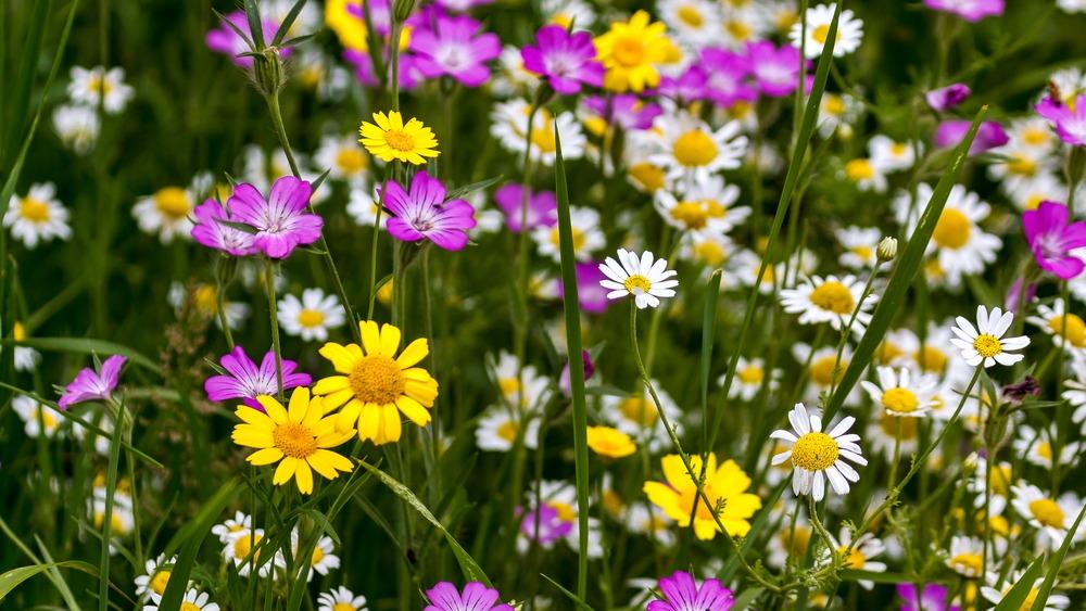 Wildflower verges in Greenstead